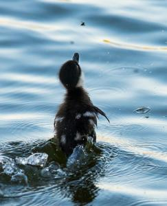Duckling chasing flies